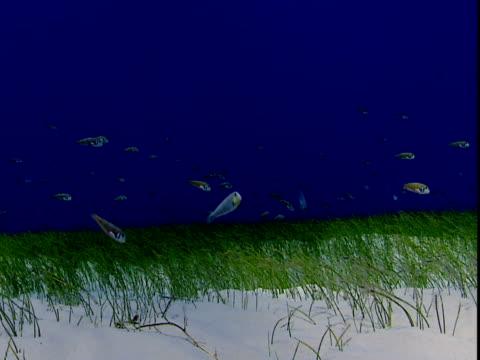 razor fish forage amongst seagrass. - history点の映像素材/bロール