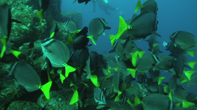 razor surgeonfish - surgeonfish stock videos and b-roll footage
