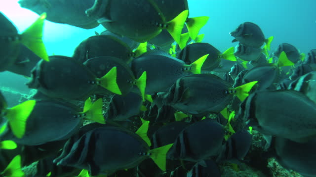 razor surgeonfish - tropical fish stock videos & royalty-free footage