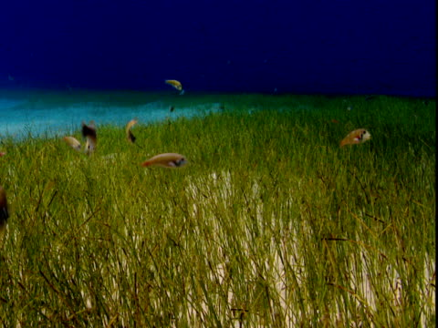 Razor swim through seagrass on the seabed in the Bahamas.