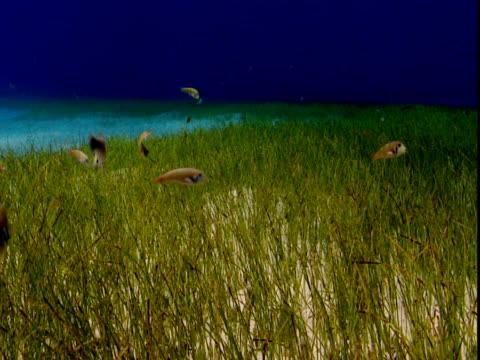 vídeos de stock e filmes b-roll de razor swim through seagrass on the seabed in the bahamas. - sargaço