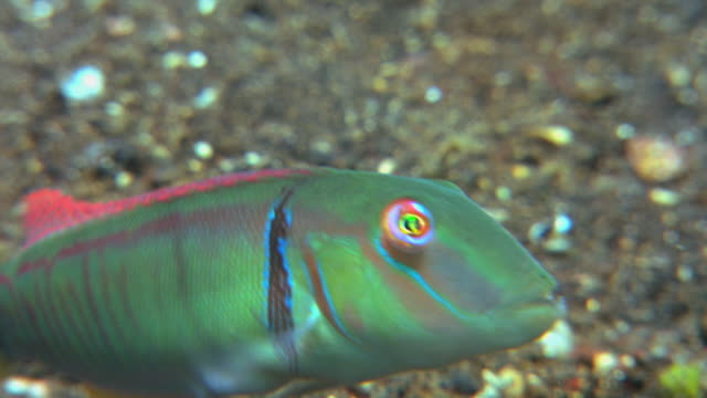 razor wrasse, or bladefish (cymolutes torquatus). this male is in mating colouration, with a dark bar behind its gill slit. it is a shy fish that typically dives into the sand before a diver sees it. filmed in the lembeh strait, sulawesi, indonesia - gill stock videos and b-roll footage