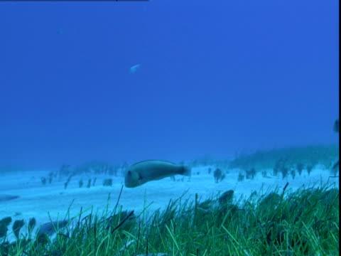 vídeos de stock e filmes b-roll de a razorfish darts up and down into seagrass on the ocean floor of the bahamas. - sargaço