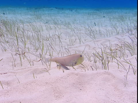 a razorfish feeds on delicate grasses on a sandy seabed. - history点の映像素材/bロール