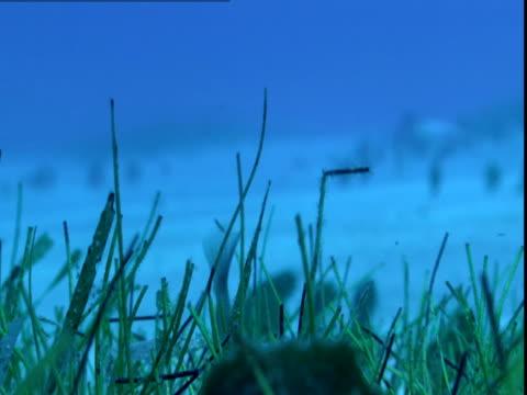 vídeos de stock e filmes b-roll de a razorfish hides in the seagrass of the ocean floor in the bahamas. - sargaço