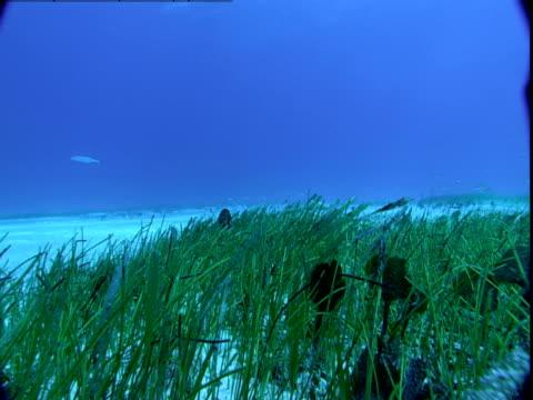 vídeos de stock e filmes b-roll de razorfish swim above seagrass on the seabed of the bahamas. - sargaço