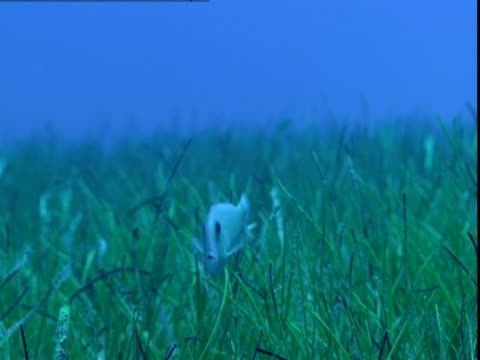 A razorfish swims near the seagrass on the ocean floor of the Bahamas.