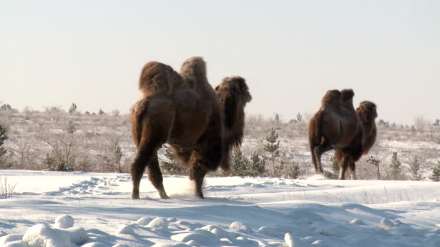 reaching camels - camel stock videos & royalty-free footage