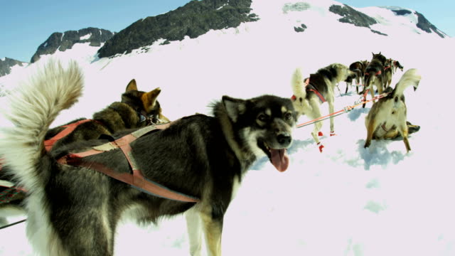 ready for work alaskan husky dogs alaska usa - malamute stock videos and b-roll footage