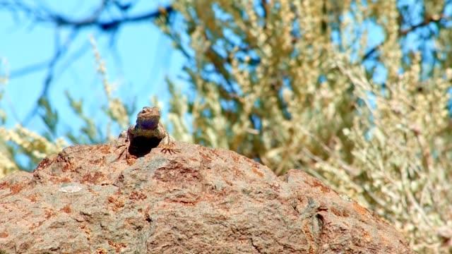Ready to fight 6 Sagebrush Lizard Steens Mountain Near Malhuer Wildlife Refuge 17