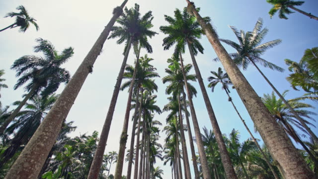 real coconut palm trees in botanical garden, rio de janeiro, brazil - botanical garden stock videos & royalty-free footage
