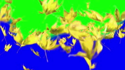 Real maple leaves falling, slow motion, video-transition, yellow leaves, alpha channel, chroma key, autumn, long version