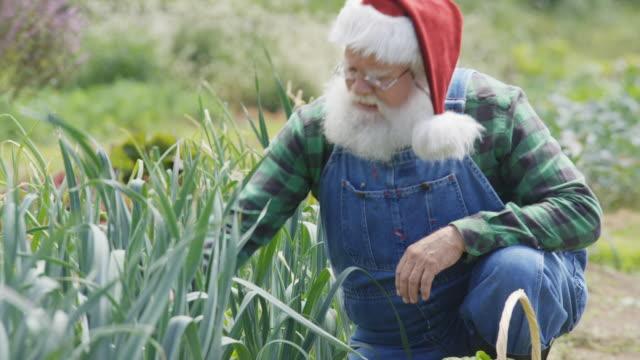 Real Santa Claus harvesting organic vegetables.
