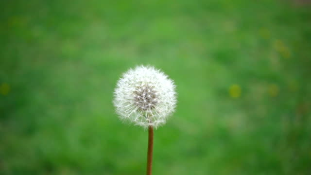 Real Slow motion shot of Common Dandelion seeds flying