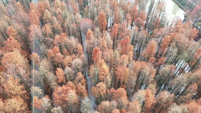 echtzeit / luftaufnahme von redwood wäldern im herbst - sequoiabaum stock-videos und b-roll-filmmaterial
