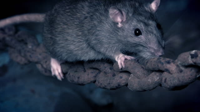 stockvideo's en b-roll-footage met real time and slow motion shots of a rat climbing a chain in a warehouse - rat