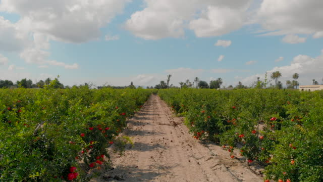 Real time video moving camera through rows with ripe red grapefruits hanging on trees lush green bushes. Beauty in nature, autumn harvesting in southern Spain