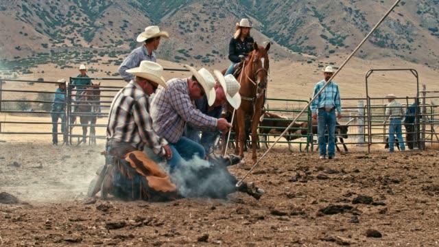 vídeos de stock e filmes b-roll de real time video of cowboys branding a steer - gado animal doméstico