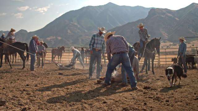Echtzeit-Video von Cowboys Branding ein junges Rind Kuh, Utah, USA