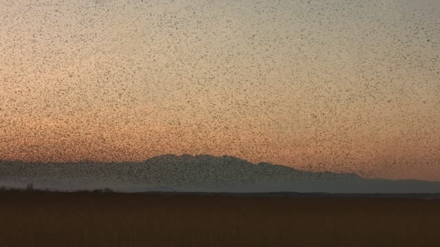 real time video of large murmuration of starlings at dusk - flock of birds stock videos & royalty-free footage