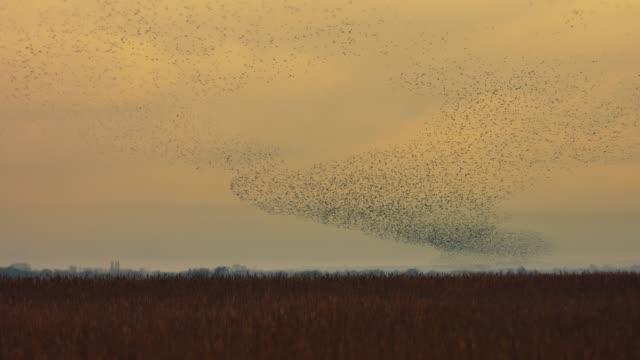vídeos de stock e filmes b-roll de real time video of large murmuration of starlings at sunset - grupo de animais