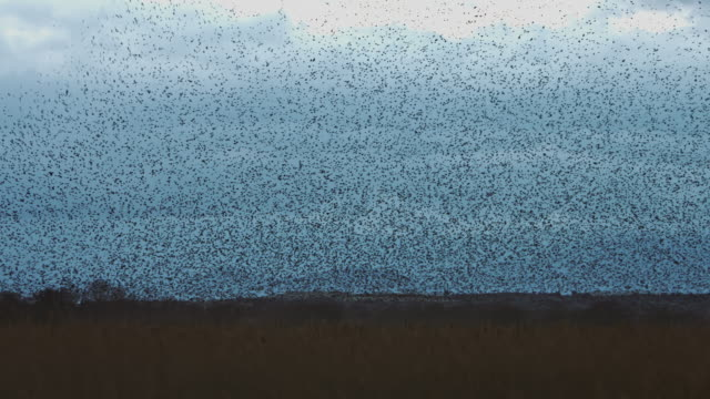 real time video of large murmuration of starlings in a cloudy day - osservare gli uccelli video stock e b–roll