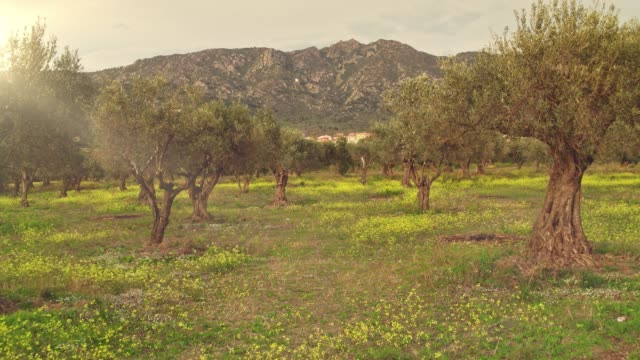 vídeos de stock e filmes b-roll de real time video of olive tree grove at sunset - cultura mediterrânica