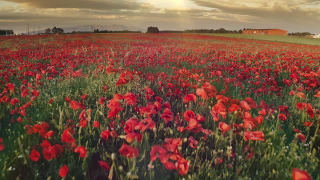 vídeos de stock e filmes b-roll de real time video of spring poppies at sunset - granadilha