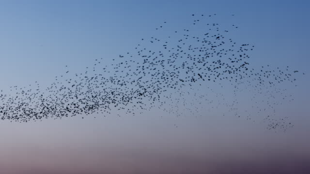 real time video of starlings against blue sky - flock of birds stock videos & royalty-free footage