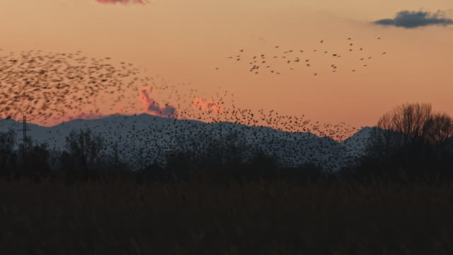 real time video of starlings flying at dusk - group of animals stock videos & royalty-free footage