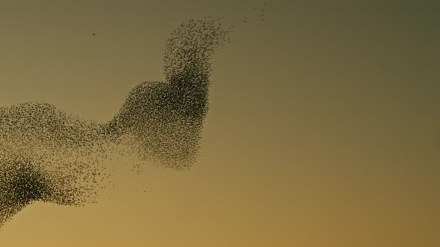 vídeos de stock e filmes b-roll de real time video of starlings flying in the sky at sunset - cooperação