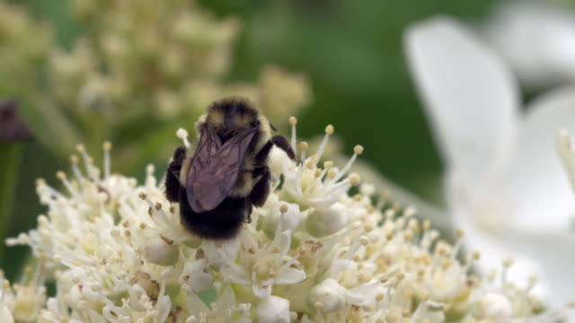 rear shot of bumble bee foraging on white hydrangea - 食糧を捜す点の映像素材/bロール