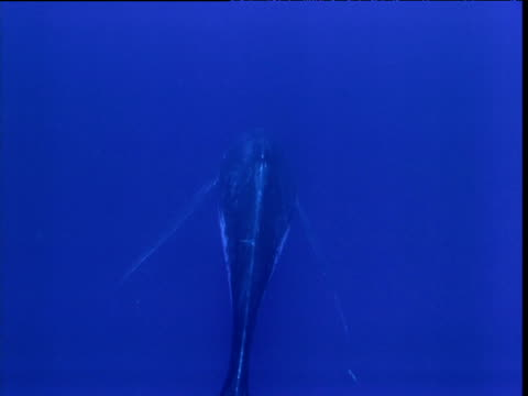 rear shot of humpback whale hanging in water singing, french polynesia - communication stock videos & royalty-free footage