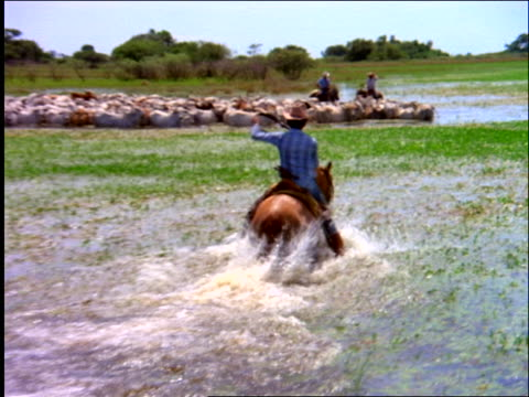 rear tracking shot of cowboy riding thru water to herd of cattle + other cowboys in marsh / mato grosso, brazil - erbivoro video stock e b–roll