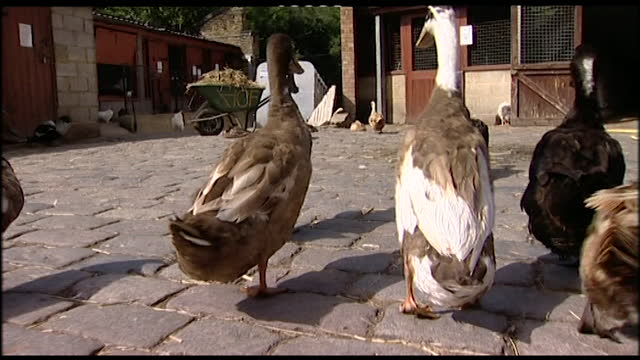 rear view ducks waddling across a cobbled farmyard in germany; 2005 - 2000s style stock videos & royalty-free footage