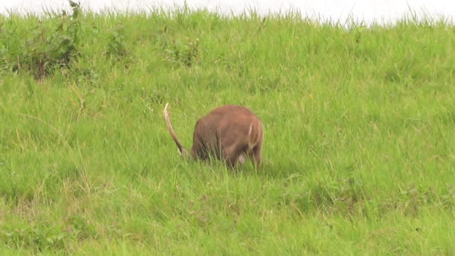 rear view: male young deer continue eating - fawn stock videos & royalty-free footage