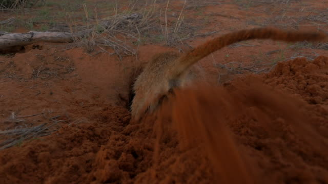 ha rear view meerkat digging and spraying sand at lens - claw stock videos & royalty-free footage