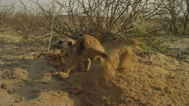 vídeos y material grabado en eventos de stock de rear view meerkat digging sand and throwing towards camera - forrajear