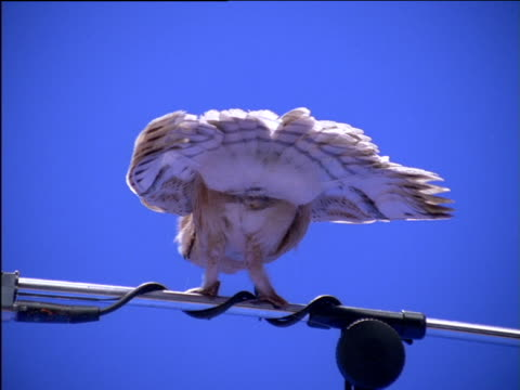 Rear view of barn owl perched on microphone stand flapping wings
