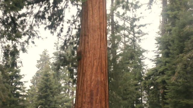 ms tu rear view of boy (4-5) sitting on fallen tree looking at giant sequoia trees, sequoia national park, california, usa - giant sequoia stock videos and b-roll footage