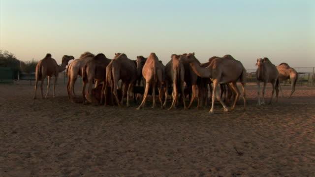 vídeos y material grabado en eventos de stock de ms, rear view of camels drinking water in oasis, dubai desert, united arab emirates - oasis desierto