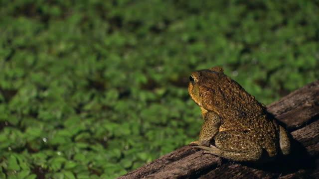 vídeos de stock e filmes b-roll de rear view of cane toad on pond - sapo