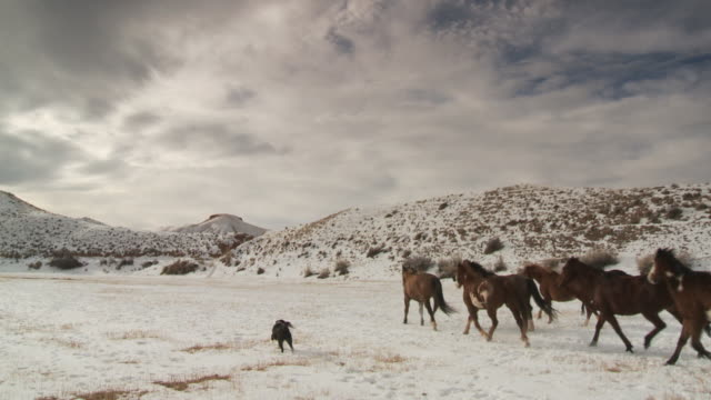 slo mo ws rear view of cowboy and cowgirl herding horses in snowy landscape with dog / shell, wyoming, usa - wyoming ranch stock videos & royalty-free footage