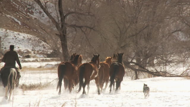 slo mo ws pan rear view of cowboy herding horses in snow with dog / shell, wyoming, usa - 数匹の動物点の映像素材/bロール