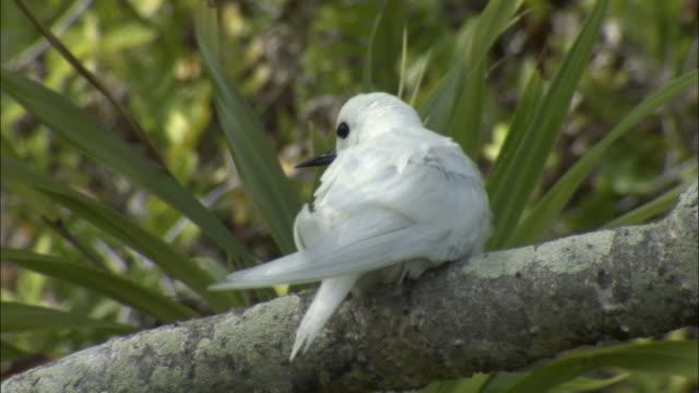 ms rear view of fairy tern (sterna nereis) on branch of pandanus tree (pandanus spiralis) / henderson island, pitcairn - dragon tree stock videos & royalty-free footage