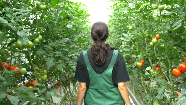 Rear view of farmer walking amidst tomato plants
