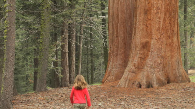 ws rear view of girl (6-7) walking by giant sequoia trees, sequoia national park, california, usa - giant sequoia stock videos and b-roll footage