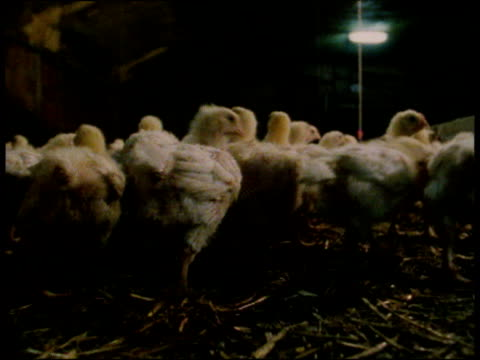 rear view of group of chicks waddling over straw in dimly lit barn uk - waddling stock videos and b-roll footage