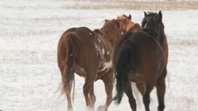 stockvideo's en b-roll-footage met slo mo ms rear view of group of horses cantering in snow with cowgirl herding them / shell, wyoming, usa - alleen oudere vrouwen