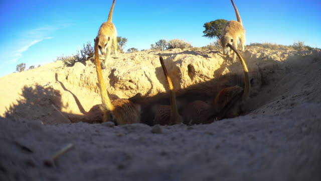 rear view of group of meerkats attacking mouth of burrow very close to camera - digging stock videos & royalty-free footage